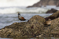 Harlequin Duck (Histrionicus histrionicus) pair along Pacific Northwest Coast. Early Spring.