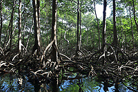 Mangroves in the Parque Nacional de los Haitises, or Los Haitises National Park, on the North East coast of the Dominican Republic, in the Caribbean. The park was established in 1976 and consists of limestone karst scenery, mountains, subtropical forest and mangrove forests along the coast. Picture by Manuel Cohen