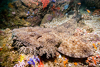 Tasselled wobbegong (Eucrossorhinus dasypogon) camouflaged on reef. Exmouth, Western Australia, Indian Ocean