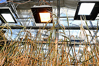 GERMANY, Halle, Martin-Luther University, Agricultural research, experimental cultivation, barley plants in greenhouse, research on adaoption of climate change / Landwirtschaftliche Fakultaet, Lehr- u. Versuchsstation, Versuchsanbau Gerste im Labor Anbau
