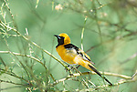 Hooded Oriole, Arizona
