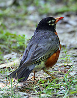 American robin with mulberry stained bill