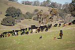 Dell'Orto pasture near Jackson, Calif. spring cattle marking and branding..Steve Wooster with his dogs drive the cattle