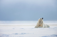 Adult female polar bear is vigilant for her cubs while resting on the snow on an island in the Beaufort sea, Arctic, Alaska.