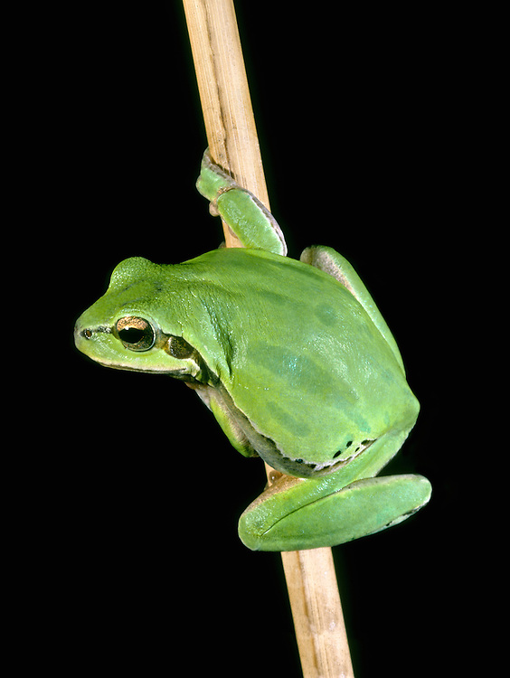 European Tree Frog Hyla arborea Length 4-5cm Colourful and distinctive amphibian. Bright green and has suckered toes that allow it climb with ease. Widespread in central and S Europe. Occasionally introduced to Britain in the past, but all colonies have died out.