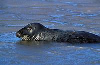 GRAY SEAL cow..Northumberland Strait, Nova Scotia..Canada. (Halichoerus grypus).