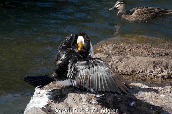 A Little Pied Cormorant  preens its back after a fishing session. // Little Pied Cormorant (Phalacrocoracidae: Microcarbo (=Phalacrocorax) melanoleucos). Length to 58cm, wingspan to 65cm, weight to NNg. Common from Malaysia south-east to Australia and New Zealand. Food small fish and crustaceans. In Australia, widespread except for arid interior. Cormorants do not have waterproof feathers and must oil them from the oil (preen) gland at the base of the tail after fishing. Note that this bird has old brown primaries and secondaries in its right wing, and one secondary missing awaiting replacement by a new black feather. //