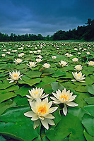 American White Water-lily, blooming pond, Dividing Creek, New Jersey