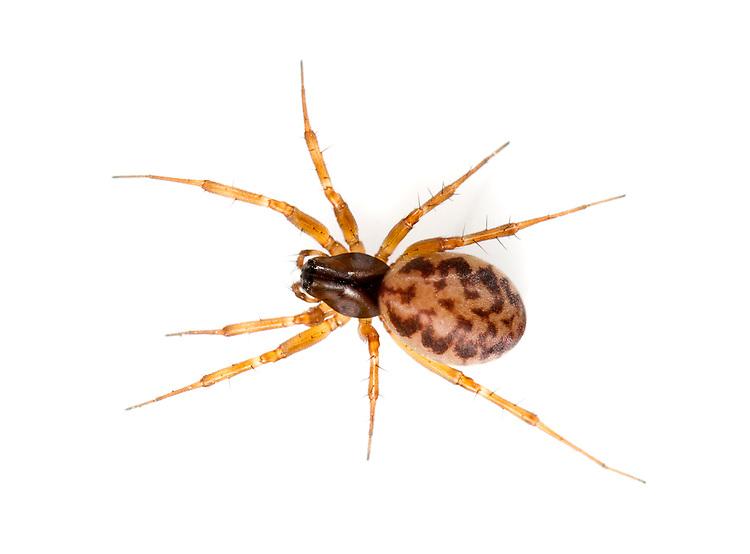 Neriene clathrata - Female. A common Linyphiid hammock-web spider found in low undergrowth in a range of habitats.