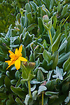 Morning frost on Mule's Ear yellow wildflower near Leavitt Lake, Toiyabe Natilonal Forest, Mono County, California