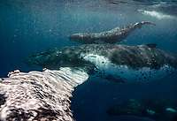 A mother humpback tries to give me a fist bump as it passes within inches of my face.
