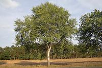 Zitterpappel, Zitter-Pappel, Pappel, Espe, Habitus, Populus tremula, Aspen