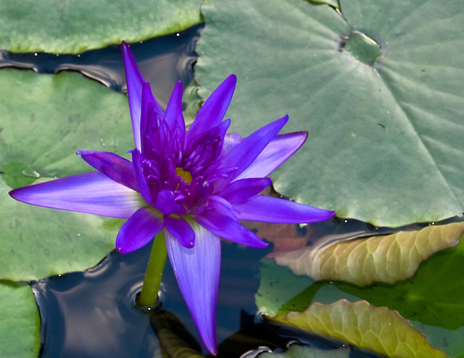 Lilly Pond with Purple Flower