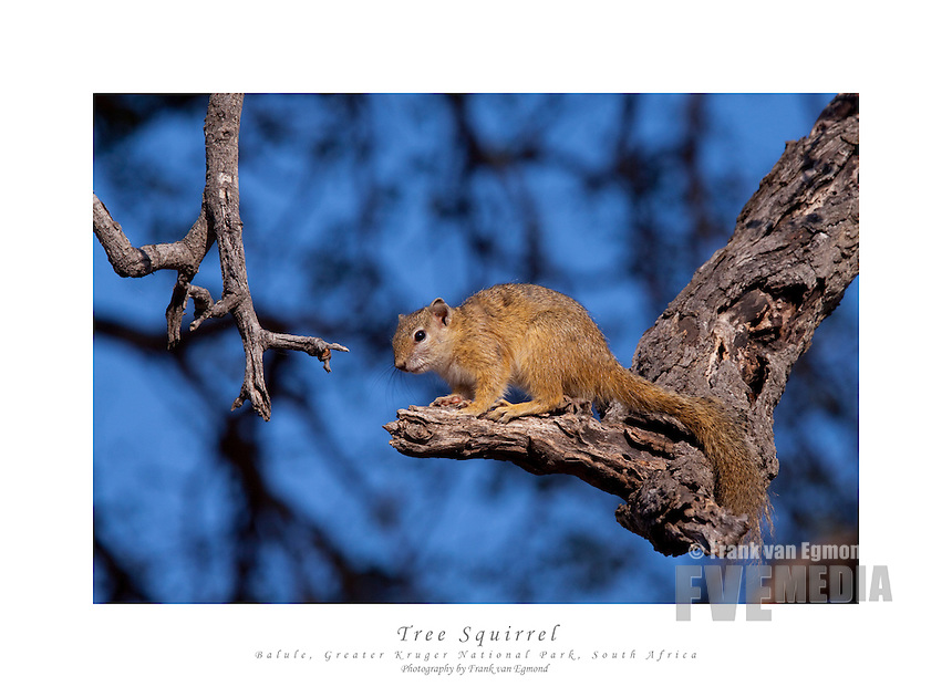 Tree Squirrel warming up in the morning sun after a cold night...June 2009, winter. Balule Private Nature Reserve,  Greater Kruger National Park, Limpopo, South Africa.