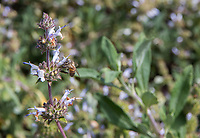 "Black sage (Salvia mellifera) and a honeybee (Apis mellifera), quite appropriately seen together during the 2018 ""California in my garden"" plant tour of the Orange County Chapter of the California Native Plant Society."
