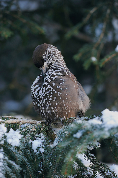 Spotted Nutcracker (Nucifraga caryocatactes), adult preening on Norway spruce ruffled by minus 15 Celsius, Davos, Switzerland, December 2007