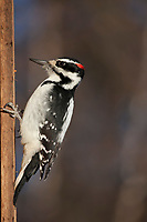 Hairy Woodpecker, Fairbanks, interior Alaska