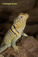1R17-534z  Collared Lizard close-up of face, Male, Crotaphytus collaris