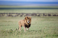 Large male lion (Panthera leo) and the great migration, Serengeti