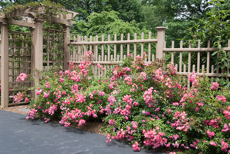 Rosa, Rose Fuchsia Meidland hedging shrub rose, hardy to zone 4a, against beautiful fence and arbor next to driveway, for gorgeous flowering landscaping in the home backyard