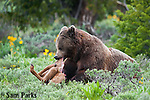 Grizzly bear feeding on elk calf carcass. Yellowstone National Park, Wyoming.