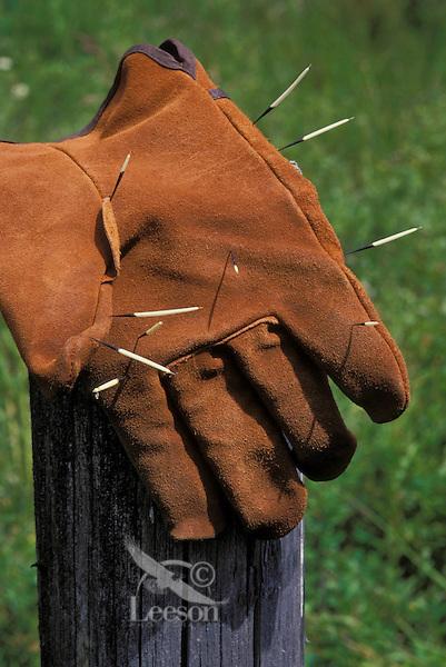 PORCUPINE quills in leather glove..Autumn. Rocky Mountains..Erethizon dorsatum.