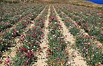 Crop of carnation flowers on hillside of Ta 'Gurdan, Gordan or Gordon lighthouse, Gozo, Malta