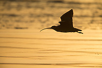 Long-billed Curlew (Numenius americanus parvus), adult in flight at Cayucos Beach in Cayucos, California at sunset.