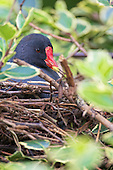 Common Moorhen (Gallinula chloropus), Sitting on nest in a Shrub. Sometimes Moorhen build nests up and away from water. In this image the nest is built suspended in a shrub, and very well hidden. The Moorhen is one of only two British birds which breed co-operatively, with older young birds helping their parents raise subsequent offspring. Habitat, Marsh, reed bed, small lakes.
