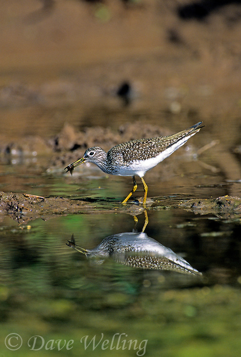 577388002 a wild adult solitary sandpiper tringa solitaria feeds on small waterbugs in a shallow pond in the rio grande valley of south texas
