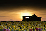 Dawn, Tulips, Tractor, and Mount Hood, Wooden Shoe Tulip Farm, Oregon
