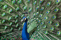Indian Blue Peacock strutting