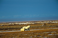 Polar Bears--sow with cub walking across tundra, Arctic National Wildlife Refuge, Alaska.  Oct.