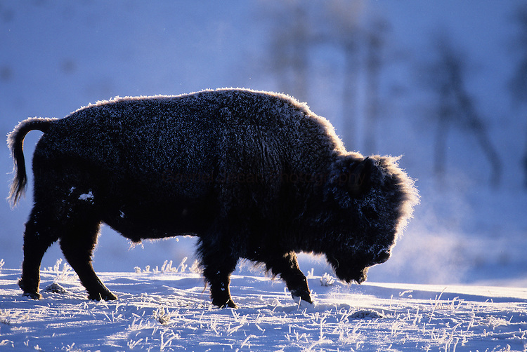 American Bison grazes in snowy Hills of Yellowstone NP.