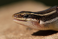 The Short-lined Skink is a member of the skink family Eumeces. It occurs in northern Mexico and along the Mexican Gulf coast and in western and central Texas.