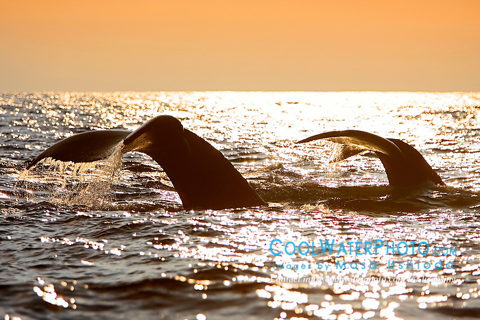 Humpback Whales, fluke-up dive at sunset, Megaptera novaeangliae, Hawaii, Pacific Ocean.