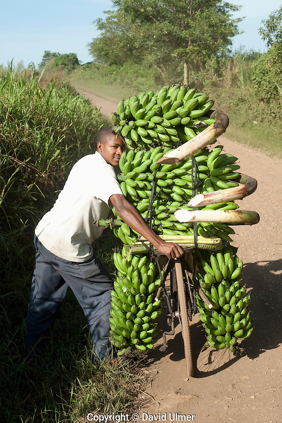 Man taking green bananas to market while pushing a bicycle, Uganda.