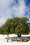 Judea, Kermes Oak (Quercus Calliprinos) in Gush Etzion