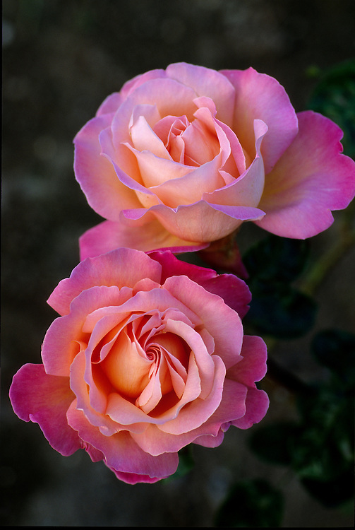 Twilight portrait of two flowers of Rosa 'Chicago Peace' in Stanley Park Rose Garden, Vancouver, BC