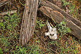 USA, Oregon, Joseph, a cow bone rests on the ground up the Wild Horse Drainage above Big Sheep Creek