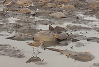 Semipalmated Sandpiper; Calidris pusilla; and horseshoe crabs; NJ, Delaware Bay