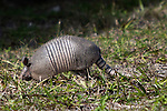 nine-banded, long-nosed armadillo, Canaveral National Seashore ,  New Smyrna Beach, FL