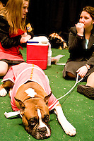 Reno, a Boxer, sits and awaits his turn at competing while Sara, left, and Ashley, right, talk away at the 130th annual Westminster Kennel Cub Dog Show, held at Madison Sqaure Garden in New York City on February 13, 2006.   <br /> <br /> The Westminster Kennel Club Dog Show is considered to be the most prestigious dog show in the world, a two day event comprising competitions in all 179 breeds of dog recognized by the American Kennel Club.  It is also the second oldest continuously run sporting event in the United States (after the Kentucky Derby), having taken place annually since 1875.  <br /> <br /> The competition is a conformation dog show, meaning that the dogs are judged by how close they match the published ideal standards for their particular breed.  More uncommonly the competition is &quot;benched&quot;, meaning that the dogs are required to be in assigned areas (or benches) while not being judged, allowing them to interact with fans and other breeders.  Dogs are therefore under constant scrutiny throughout the whole process, as are the other species in the competition, namely the owners, handlers, and breeders of these animals.