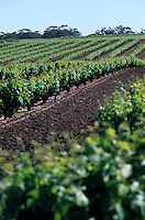 Océanie/Australie/Australie Méridionale/Barossa Valley : Vignoble, les plus anciens pieds de vigne d'Australie chez Bethany, cépage Syrah