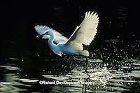 00696-00406 Snowy Egret (Egretta thula) foot dragging /feeding behavior   Everglades NP FL