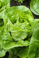 Lettuce 'Maribel' vegetable salad greens growing