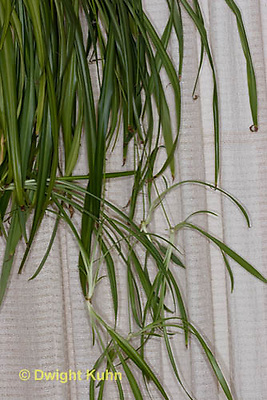 HS74-502z  Spider plant with trailing runners or stolons, Chlorophytum comosum