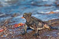 Marine iguana and Sally lightfoot crabs, James Bay, Stantiago Island, Galapagos Islands, Ecuador.