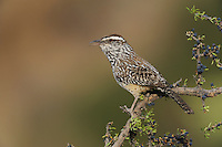 Cactus Wren (Campylorhynchus brunneicapillus), adult on Guayacan (Guaiacum angustifolium), Chisos Basin, Chisos Mountains, Big Bend National Park, Chihuahuan Desert, West Texas, USA