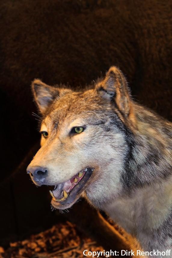 Wolf im Zoologische Museum, Martin-Luther-King-Platz 3, Hamburg, Deutschland